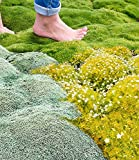 Iekofo Seed house - 100pcs Moss Seeds Ground Cover Evergreen Moose Lawn Moss Garden - Green Plant,...
