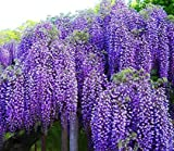 Spectacular Blue Moon Wisteria Tree Plant 8-11' Tall Potted Plant Fragrant Flowers Attracks...