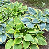 Hosta Bumper Crop Mix - 10 Bare Root Hostas - Fabulous Color for Shady Gardens | Ships from Easy to...