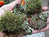 Appalachian Mix Moss & Lichen Variety Assortment British Soldier Pixie Cup Pityrea Live Lichens Moss...