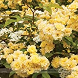 Go Garden Heirloom39; Lady Banks39; Yellow Climbing Rose Flower Old-Fashioned Strong Fragrant High...
