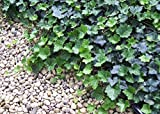 Thorndale English Ivy 48 Plants - Hardy Groundcover - 1 3/4' Pots