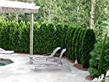 Thuja Emerald Green Arborvitae Qty 60 Live Plants Evergreen Privacy Hedge