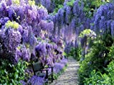 BLUE MOON WISTERIA VINE - FRAGRANT FOOT LONG FLOWERS - ATTRACTS HUMMINGBIRDS - 2 - YEAR PLANT