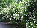 Chicago Lustre Viburnum - Large Live Plants Shipped 3 to 4 Feet Tall by DAS Farms (No California)